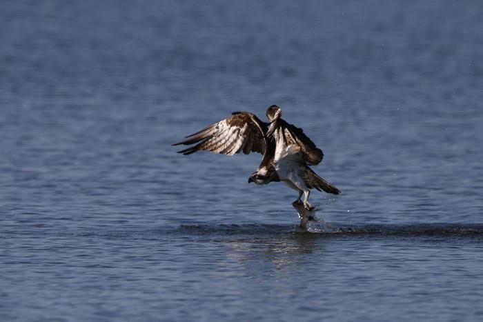 MFの沼でミサゴの狩りを その22_f0239515_1720473.jpg