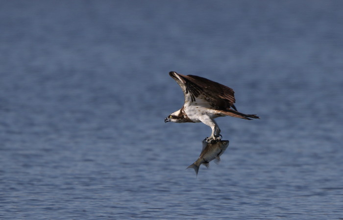MFの沼でミサゴの狩りを その22_f0239515_17211040.jpg