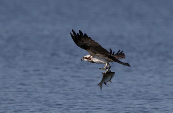 MFの沼でミサゴの狩りを その22_f0239515_1721423.jpg