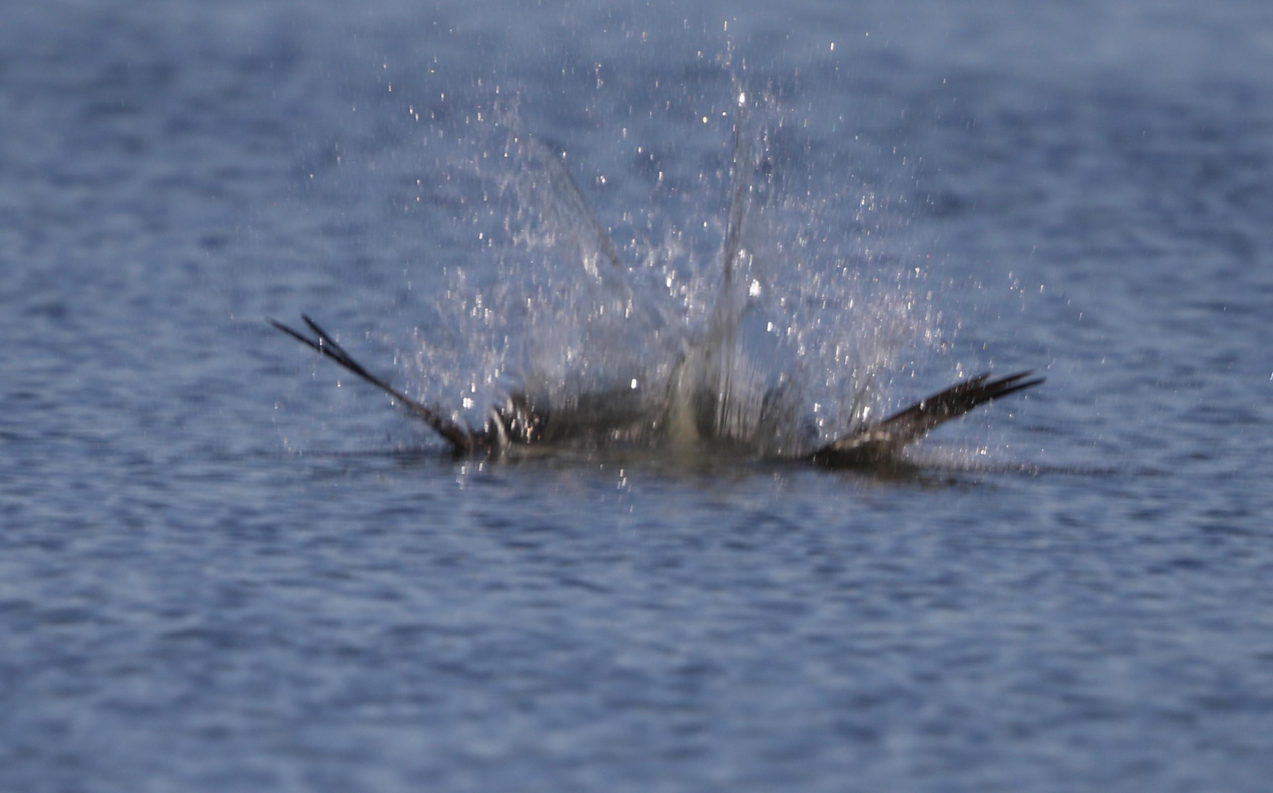 MFの沼でミサゴの狩りを その21_f0239515_17344835.jpg
