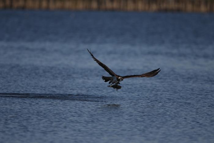 MFの沼でミサゴの狩りを その21_f0239515_17351687.jpg