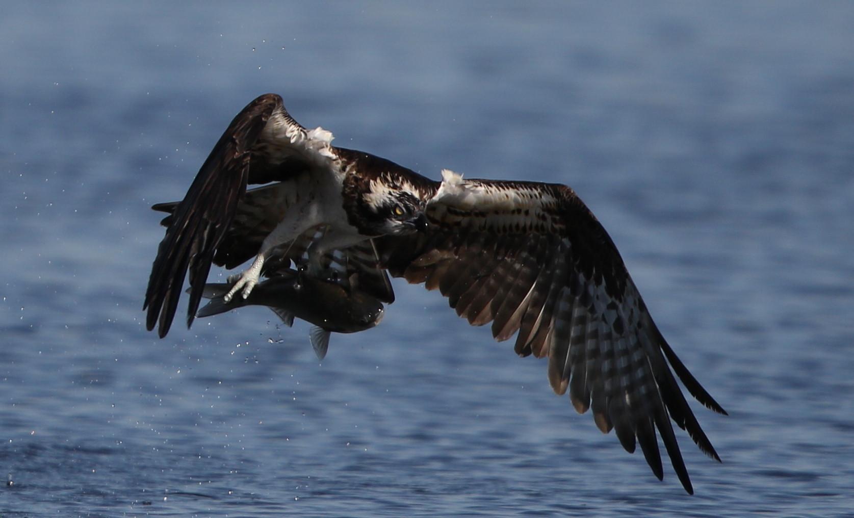 MFの沼でミサゴの狩りを その21_f0239515_17353285.jpg