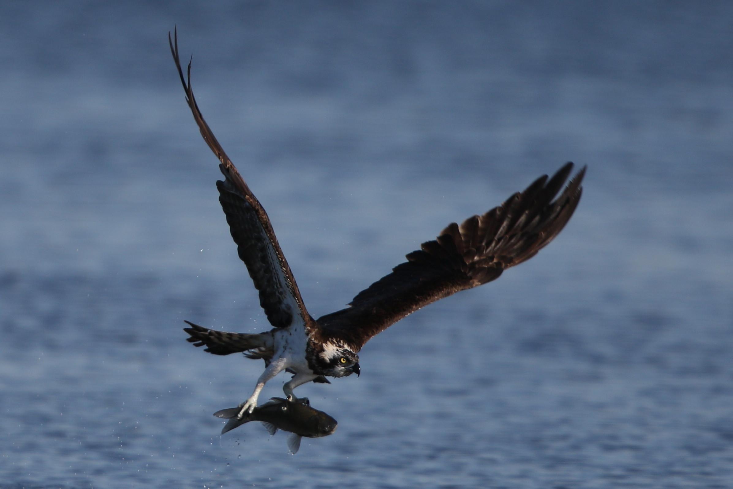 MFの沼でミサゴの狩りを その21_f0239515_17355241.jpg