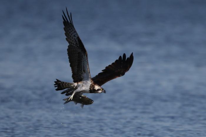 MFの沼でミサゴの狩りを その21_f0239515_17361579.jpg