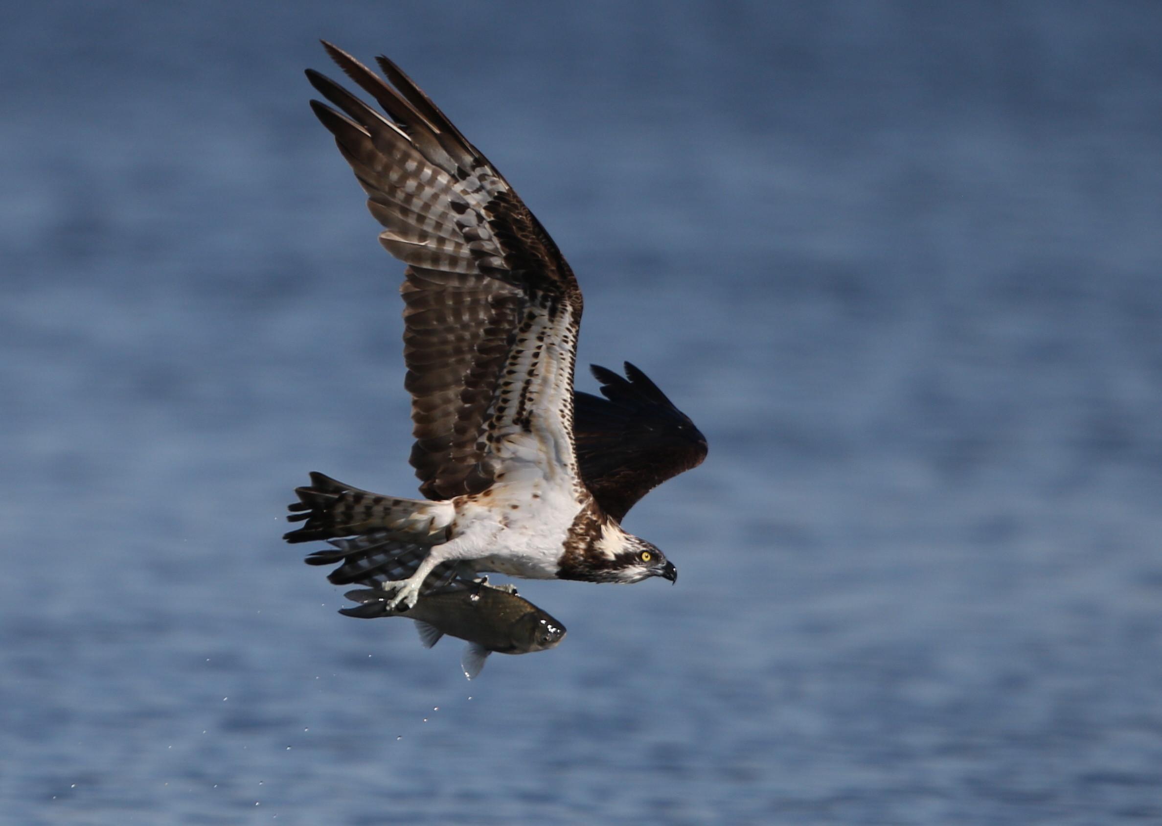 MFの沼でミサゴの狩りを その21_f0239515_17363970.jpg