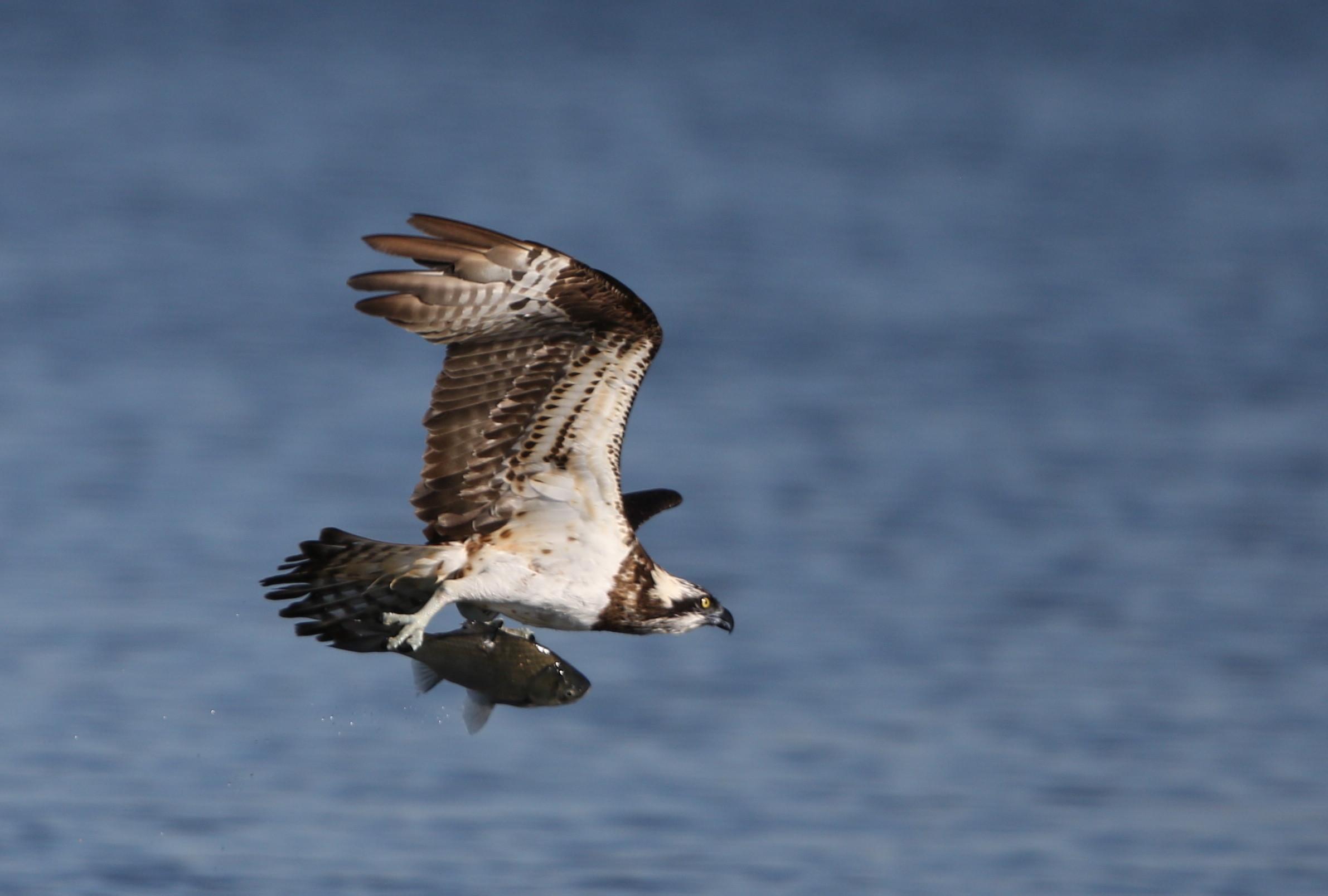 MFの沼でミサゴの狩りを その21_f0239515_1737038.jpg