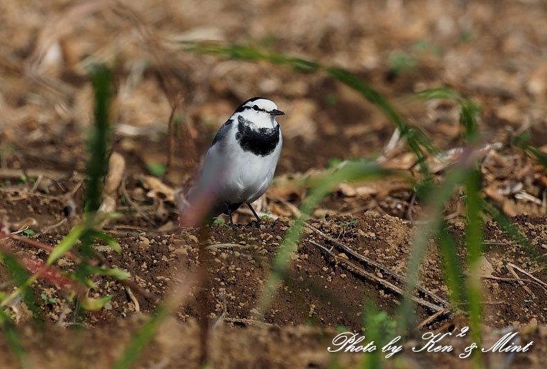 のんびりと田んぼで探鳥♪可愛い鳥さん達に会えました^^_e0218518_18464115.jpg