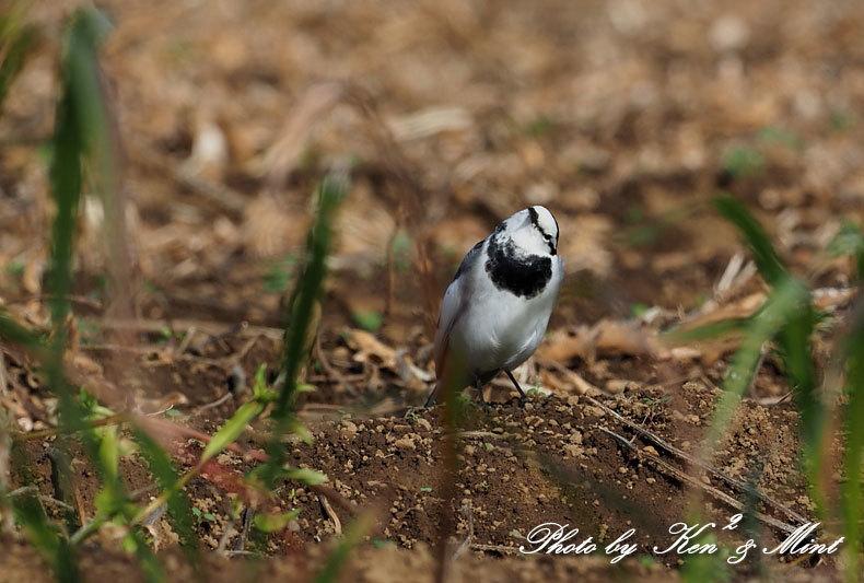 のんびりと田んぼで探鳥♪可愛い鳥さん達に会えました^^_e0218518_18465689.jpg