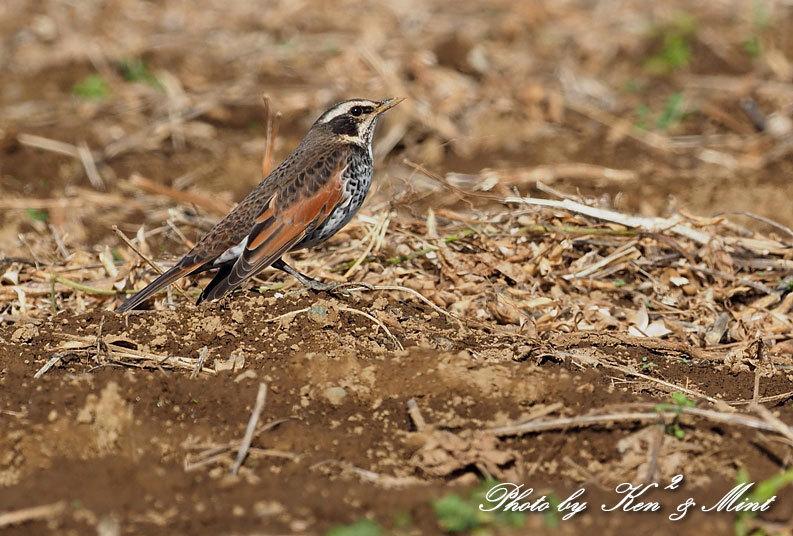 のんびりと田んぼで探鳥♪可愛い鳥さん達に会えました^^_e0218518_18472806.jpg