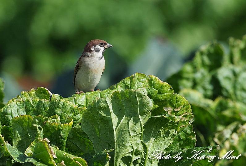 のんびりと田んぼで探鳥♪可愛い鳥さん達に会えました^^_e0218518_18474798.jpg