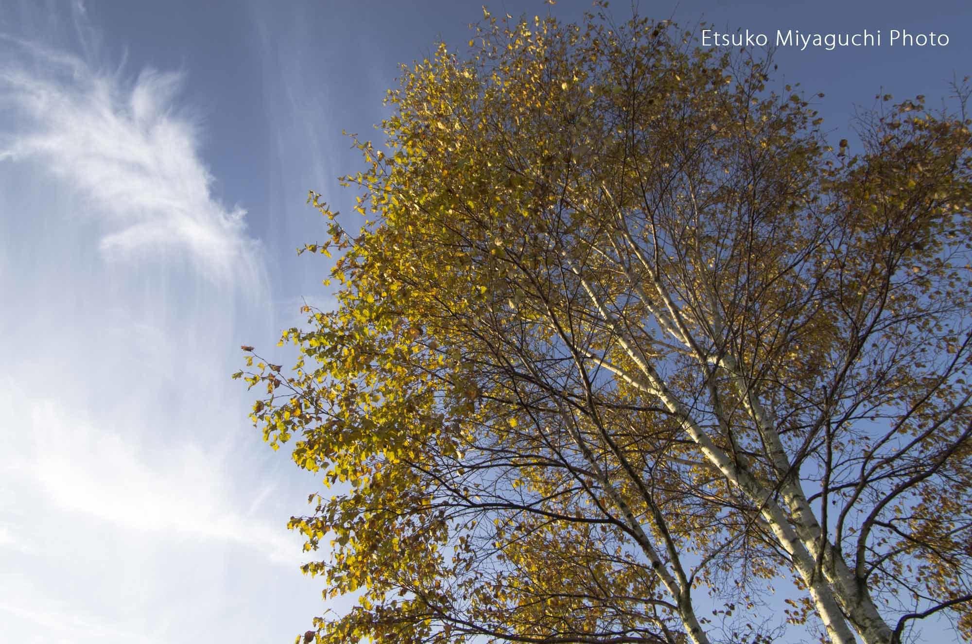白樺と秋の空_f0152939_04360820.jpg