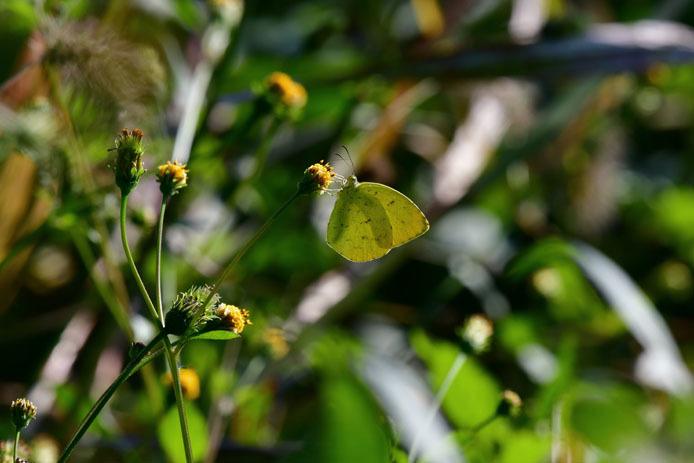 キチョウの斑紋と葉っぱのシミ_d0149245_10124031.jpg