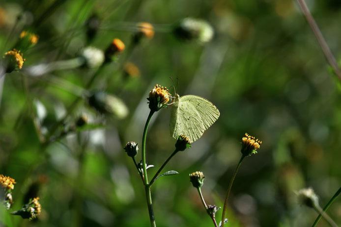 キチョウの斑紋と葉っぱのシミ_d0149245_10124097.jpg