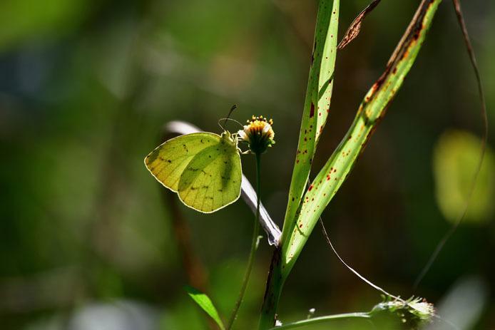 キチョウの斑紋と葉っぱのシミ_d0149245_10124861.jpg