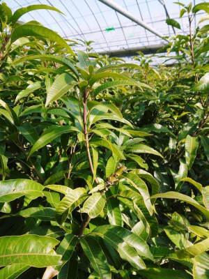 樹上完熟アップルマンゴー ハウスにビニールを張り匠の温度管理が始まりました_a0254656_17361539.jpg