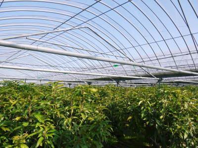 樹上完熟アップルマンゴー ハウスにビニールを張り匠の温度管理が始まりました_a0254656_18095919.jpg