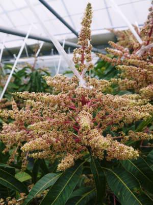 樹上完熟アップルマンゴー ハウスにビニールを張り匠の温度管理が始まりました_a0254656_18173574.jpg