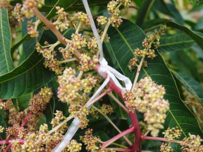 樹上完熟アップルマンゴー ハウスにビニールを張り匠の温度管理が始まりました_a0254656_18180535.jpg
