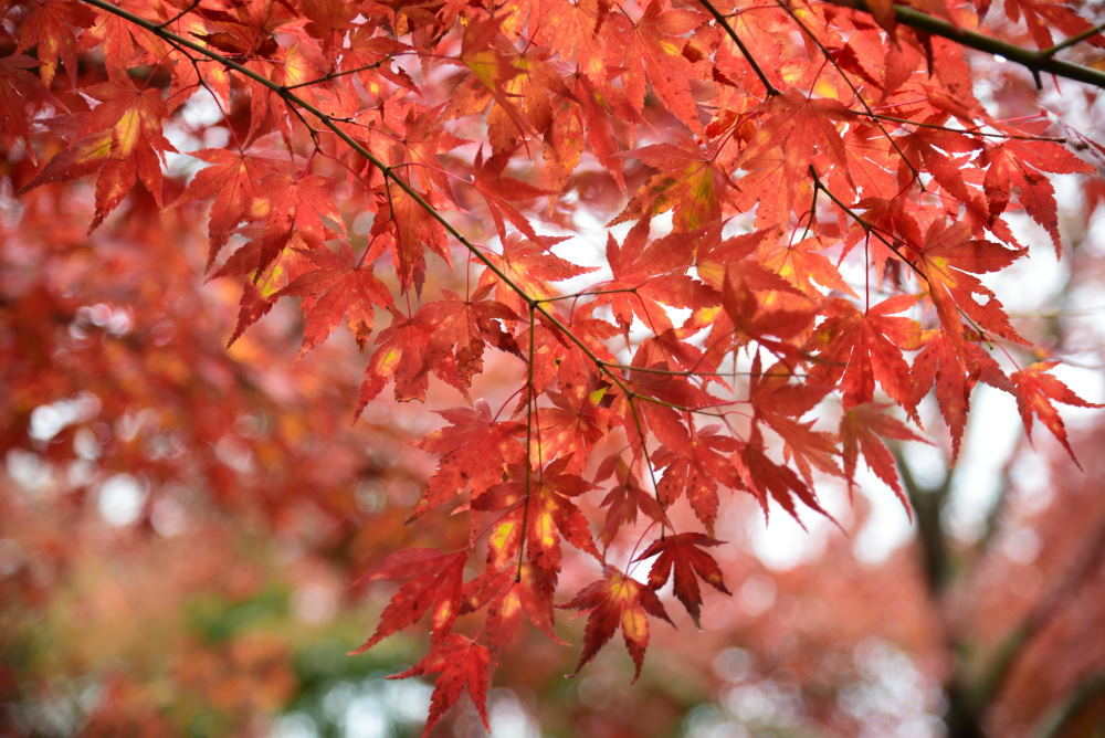 宝徳寺の紅葉_f0202686_16194503.jpg