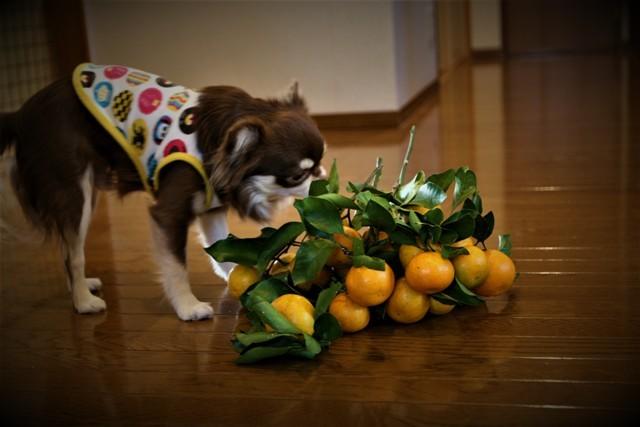 LCチワワ ベルは 柿が大好き~♬_f0229190_15160325.jpg