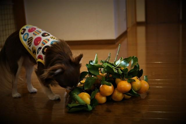 LCチワワ ベルは 柿が大好き~♬_f0229190_15161677.jpg