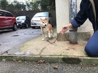 【犬・移動先募集】センター(支所)の柴犬3頭&ププくん(11/25訪問)_f0242002_10391340.jpg