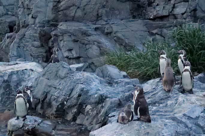 夜の不思議の葛西臨海水族園2019②:ナイト・ペンギン~ウミガラスのヒナ_b0355317_21410998.jpg