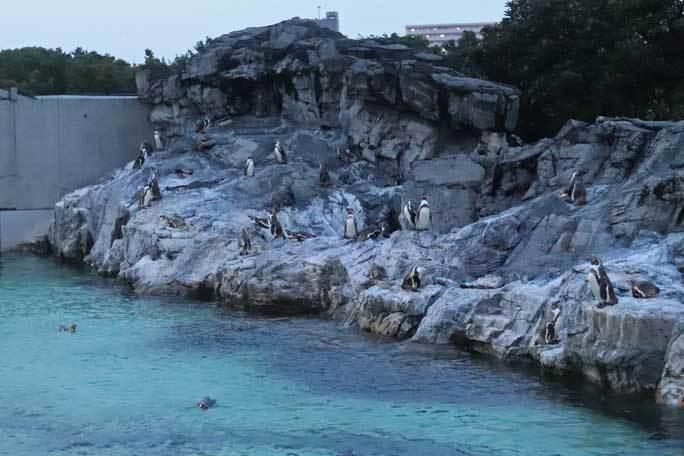 夜の不思議の葛西臨海水族園2019②:ナイト・ペンギン~ウミガラスのヒナ_b0355317_21415319.jpg