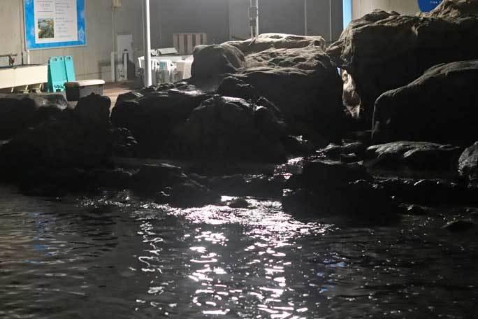 夜の不思議の葛西臨海水族園2019②:ナイト・ペンギン~ウミガラスのヒナ_b0355317_22033310.jpg