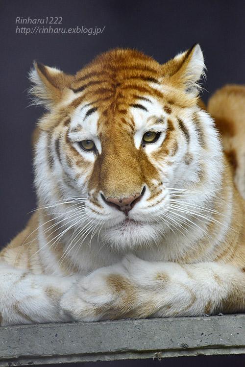 2019.11.23 東北サファリパーク☆ゴールデンタビータイガーのステラちゃん【Tiger】_f0250322_19341975.jpg