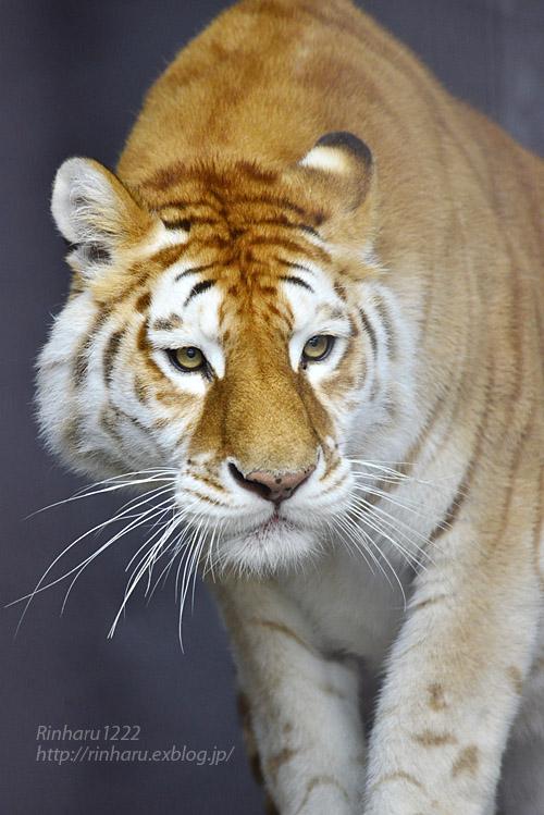 2019.11.23 東北サファリパーク☆ゴールデンタビータイガーのステラちゃん【Tiger】_f0250322_1934281.jpg
