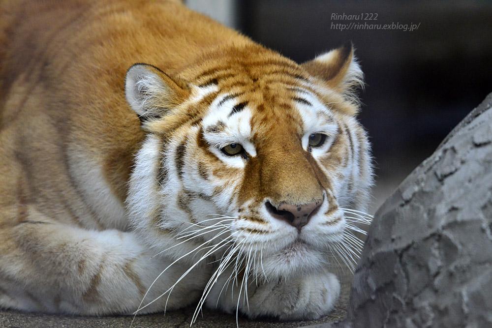 2019.11.23 東北サファリパーク☆ゴールデンタビータイガーのステラちゃん【Tiger】_f0250322_1934748.jpg