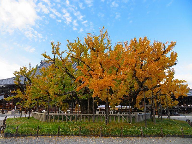 西本願寺のイチョウ(市天然記念物)20191126_e0237645_17010580.jpg