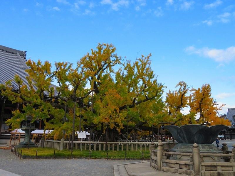 西本願寺のイチョウ(市天然記念物)20191126_e0237645_17010582.jpg