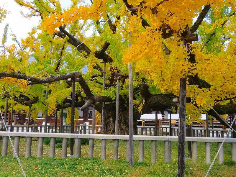西本願寺のイチョウ(市天然記念物)20191126_e0237645_17010590.jpg
