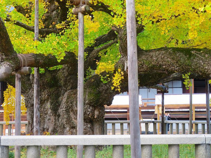 西本願寺のイチョウ(市天然記念物)20191126_e0237645_17021763.jpg