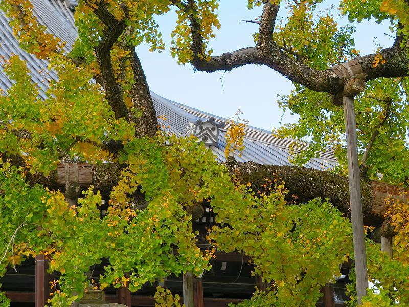 西本願寺のイチョウ(市天然記念物)20191126_e0237645_17021787.jpg