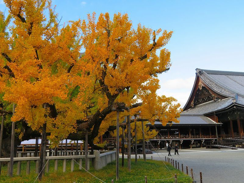 西本願寺のイチョウ(市天然記念物)20191126_e0237645_17021798.jpg
