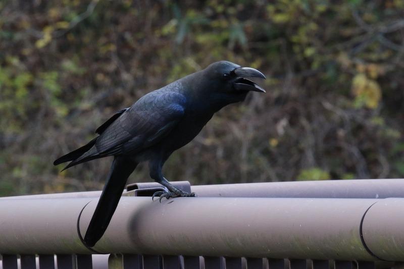 最近出会った鳥達_c0155950_20591895.jpg