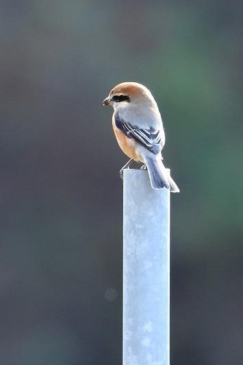最近出会った鳥達_c0155950_21000042.jpg