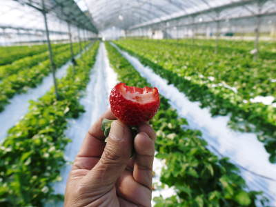 熊本イチゴ第1弾! 熊本限定栽培品種のイチゴ『熊紅』令和元年度の先行予約受付明日よりスタート!!_a0254656_18120596.jpg