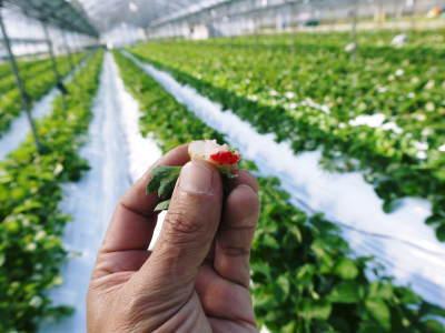 熊本イチゴ第1弾! 熊本限定栽培品種のイチゴ『熊紅』令和元年度の先行予約受付明日よりスタート!!_a0254656_18203858.jpg