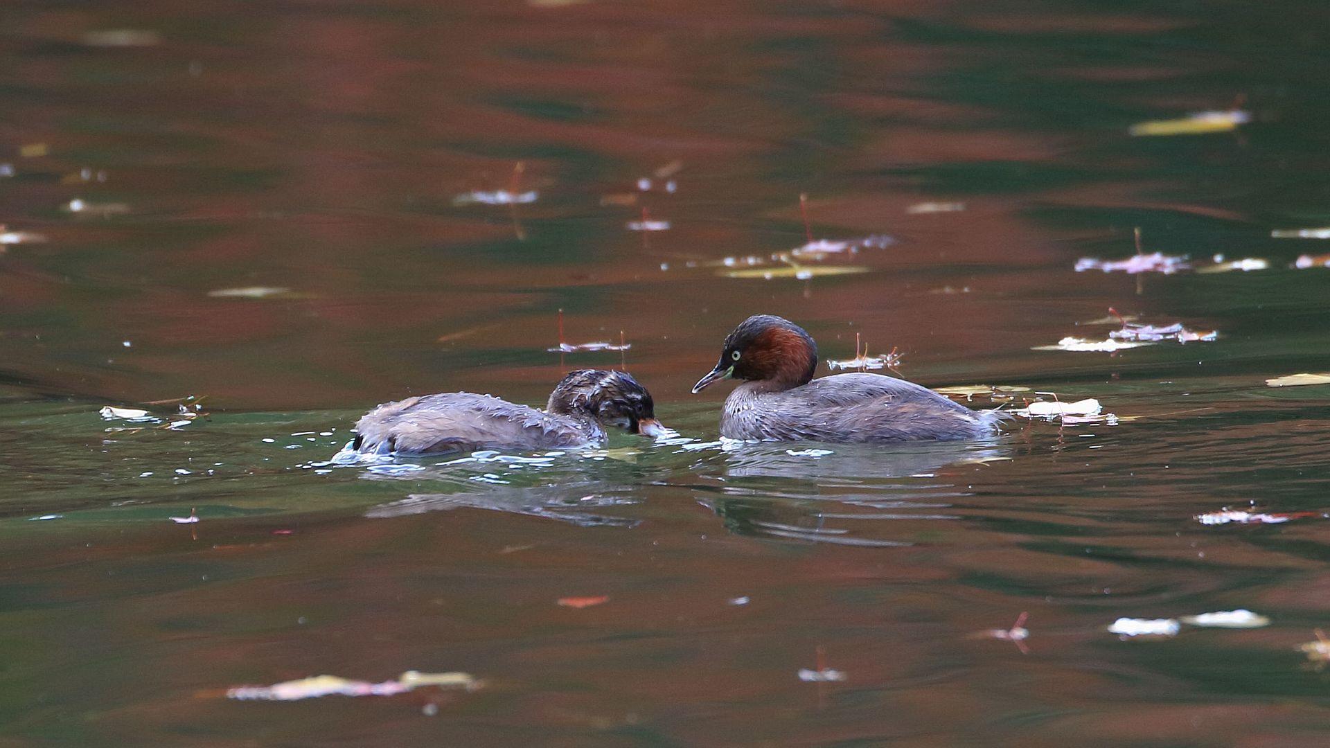 紅葉が移り込んだ池面にカイツブリ親子_f0105570_21160097.jpg