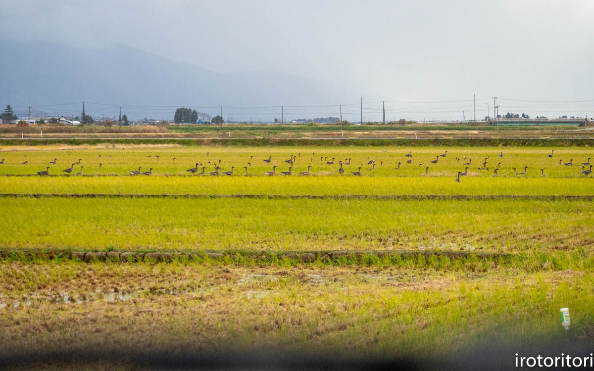 鳥のいる風景  (ハクチョウ&オオヒシクイ)  2019/11/25_d0146592_00395926.jpg