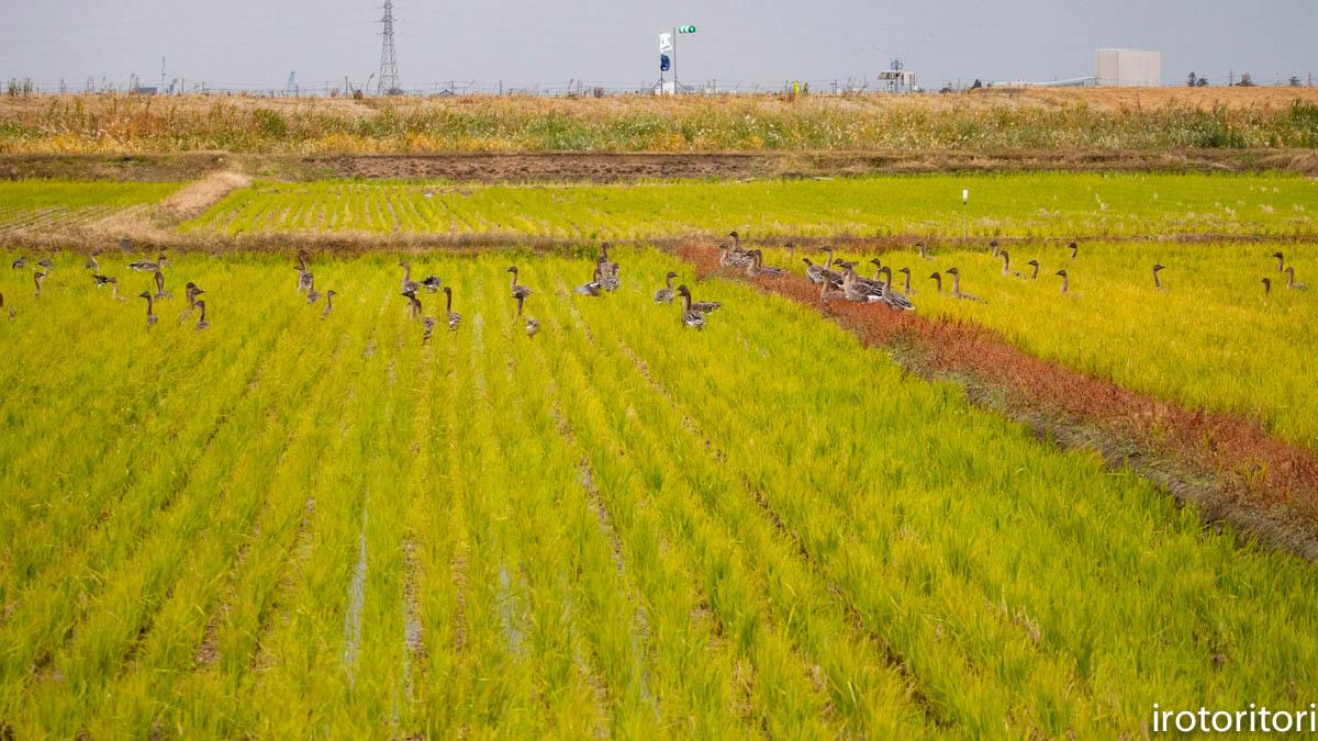 鳥のいる風景  (ハクチョウ&オオヒシクイ)  2019/11/25_d0146592_00404393.jpg