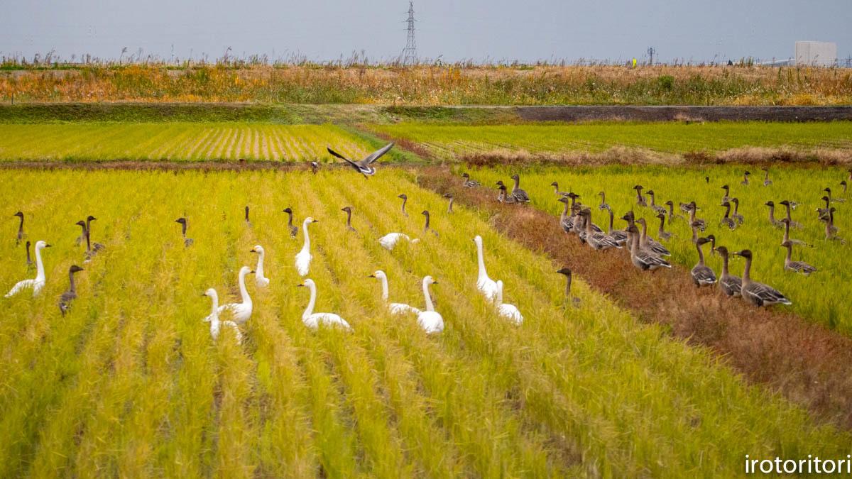 鳥のいる風景  (ハクチョウ&オオヒシクイ)  2019/11/25_d0146592_00405142.jpg