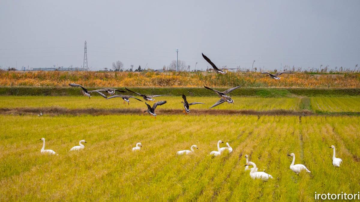 鳥のいる風景  (ハクチョウ&オオヒシクイ)  2019/11/25_d0146592_00410044.jpg