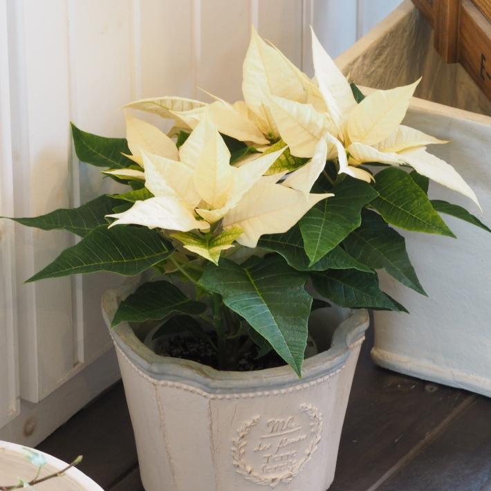 ポインセチアの鉢植えが入荷しました_b0378101_16160532.jpg