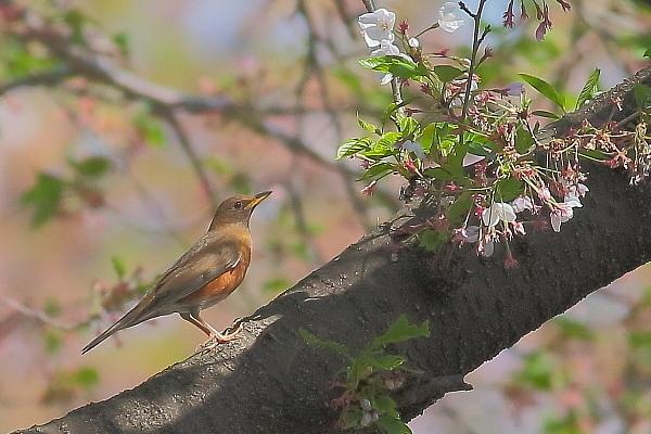 2019年を振り返って…桜とアカハラ_e0413627_17013590.jpg