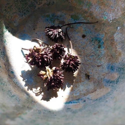 チョコレートコスモスの花芯_e0243332_22201581.jpg